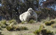 Video: Chú cừu có bộ lông 'khủng' nhất thế giới' đã qua đời