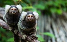 Khỉ cũng có giọng địa phương và 'pha tiếng' như người