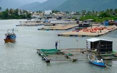 Người nuôi thủy sản trên vịnh Vân Phong hối hả bán cá chạy bão số 5