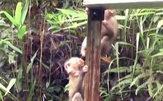 Video: Thả 3 cá thể khỉ đuôi lợn quý hiếm về rừng