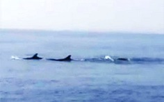 Đàn cá heo hàng chục con vờn sóng ngoài biển Hội An