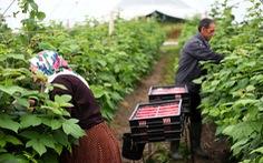Cơ hội sang Anh làm nông dân có thể tăng gấp 4 lần hiện nay