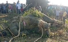 Sau 2 phát súng, Ấn Độ bắt được con voi hung dữ mang tên 'Osama bin Laden'