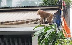 Khỉ, gấu sổng chuồng: người dân lo âu, cơ quan chức năng lúng túng