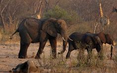 200 con voi chết vì đói khát, Zimbabwe chuẩn bị đợt di tản động vật lớn nhất lịch sử