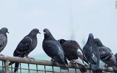 Phát hiện đáng sợ: ngón chân bồ câu biến dạng ở đô thị