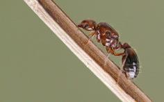 Nhật Bản nguy cơ mất hàng tỉ USD vì kiến lửa đỏ