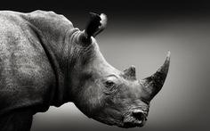 Làm giả sừng tê giác bán ra thị trường có cứu được tê giác thật?