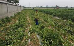 Ruộng ớt bị phá tan, dân nghi do mình phản đối mở rộng đường nội đồng