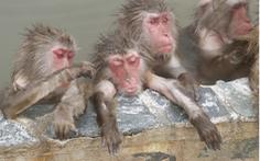 Nhật xây khu suối nước nóng cho khỉ nghỉ dưỡng