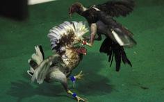 Quốc hội Mỹ cấm đá gà, gây sóng giận dữ ở Puerto Rico
