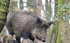 Châu Âu đua nhau lập hàng rào điện, diệt heo rừng mang dịch tả