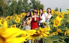 Selfie rực sắc vàng với vườn hướng dương ở TP.HCM