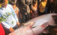 Nông dân An Giang bắt được cá tra dầu 230kg