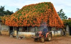 Ngôi nhà phủ hoa chùm ớt ở Lâm Đồng đã không còn