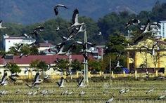 Hàng trăm con cò nhạn quý hiếm xuất hiện ở Mường Thanh