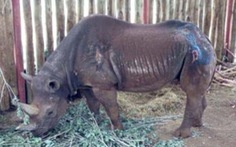 Tê giác già nhất thế giới qua đời ở tuổi 57