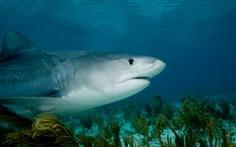 Nhận dạng nạn nhân nhờ chiếc vòng đeo tay trong bụng cá mập