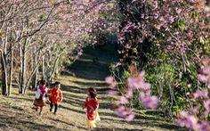 Hoa mai anh đào bung sắc hồng ở Măng Đen
