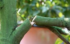 Điều tra vụ phá hoại vườn mai tết ở Bình Dương