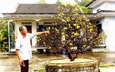 Cây mai - cây vàng 9999