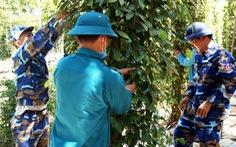 Cùng nhau ra vườn hái tiêu giúp nông dân