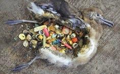 Phát hiện hóa chất nhựa trong trứng chim biển