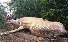Cá voi 10 tấn lại chết trong... rừng Amazon