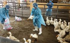 TP.HCM tiêu hủy 900 con vịt nhiễm H5N6