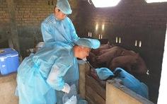 Công bố dịch lở mồm long móng heo tại huyện Krông Bông