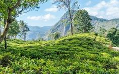 Băng qua những đồi chè xanh mướt ở Sri Lanka