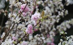 20.000 cành hoa anh đào khoe sắc tại vườn hoa Lý Thái Tổ