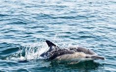 Bảo vệ cá heo bằng sóng âm