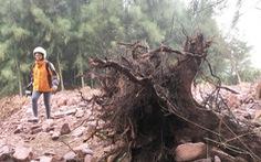 Chặt cây rừng phòng hộ làm dự án nuôi tôm là có thật