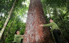 Tây Giang gìn giữ rừng xanh - Kỳ 4: 'Biệt đội' rừng lim
