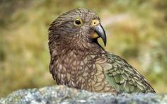 75% loài động thực vật tại New Zealand đã tuyệt chủng