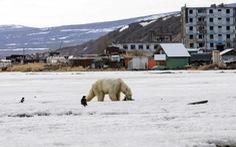 Gấu Bắc cực đi lạc… 700km
