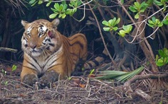 Hổ Bengal có thể tuyệt chủng trong 50 năm tới