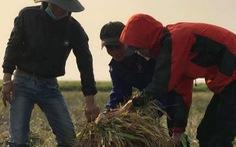 Ấm áp, bồi hồi khi xem cả lớp ra đồng gặt lúa giúp bạn