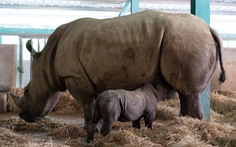 Thú vị tê giác sinh con tại Việt Nam