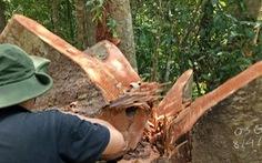 Lâm tặc mở đường đốn gỗ, chủ rừng không hề hay biết