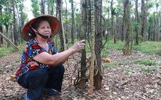 Tiêu rớt giá, nông dân 'thủ phủ' Bình Phước lao đao