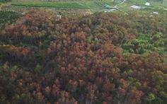 Khởi tố vụ 'ám sát' 3.500 cây thông rừng hơn 20 năm tuổi