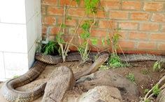 Ứng xử ra sao với cặp rắn 'khủng' quý hiếm ở núi Cấm?