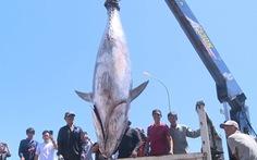 3 ngư dân Phú Yên cùng lúc câu được 3 con cá ngừ đại dương 'khủng chưa từng thấy'