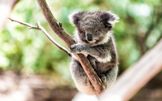 Mất rừng, gấu Koala sát bờ vực tuyệt chủng