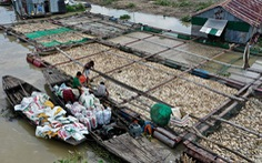 Ngư dân làng bè La Ngà thất thần bán tháo cả ngàn tấn cá lăng, leo... 2.000 đồng/kg