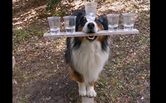 Chú chó dùng mõm giữ 5 ly nước làm xiếc trên ván gây bão mạng