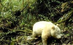 Phát hiện gấu trúc chỉ một màu trắng như gấu Bắc cực