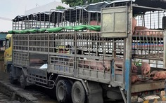 Heo nhiễm dịch tả châu Phi vẫn chở đem bán ở nhiều nơi tại Quảng Nam
